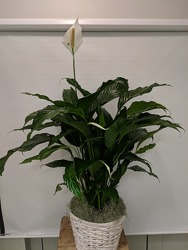 Large Spathiphyllum Plant your flower shop in Wyckoff, NJ